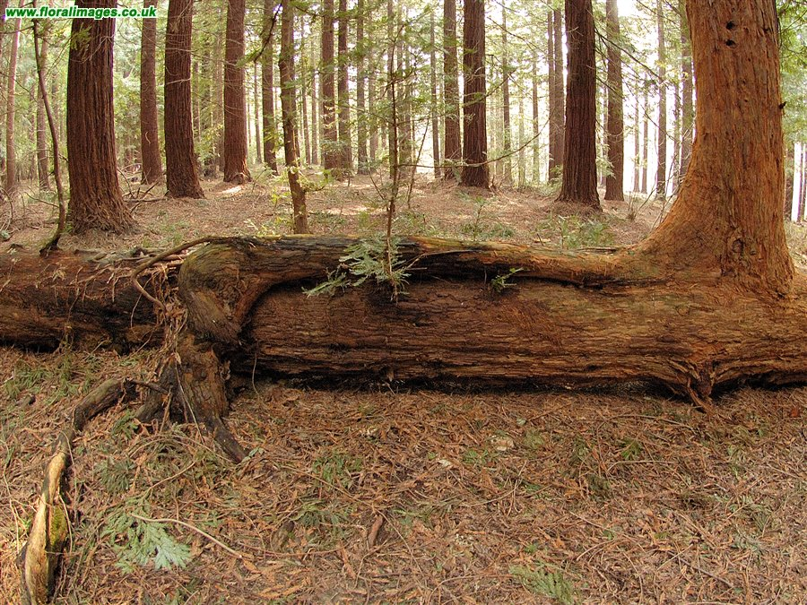 Coastal Redwood fallen - re-growing