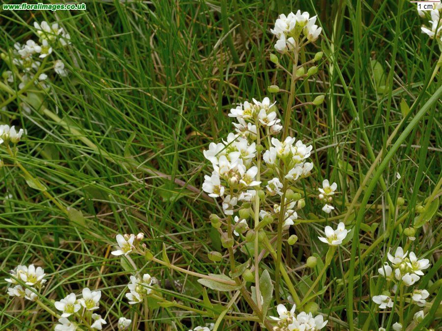 Cochlearia officinalis agg.