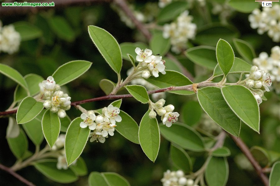 Cotoneaster tomentosus