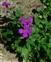 Wild-growing plants and fungi of the British Isles, Aubrieta deltoidea