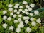 Taxonomic plant kingdom, Ammi majus