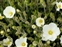 Plants thought to be introduced in the British Isles after 1500 AD., Arenaria montana