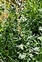 Wild-growing plants and fungi of the British Isles, Artemisia vulgaris