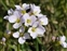 Wild-growing plants and fungi of the British Isles, Cardamine pratensis