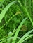 Grasses, sedges and rushes, Carex vulpina