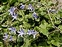 Flowering plants excl. Grasses, sedges and rushes., Campanula poscharskyana