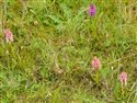 Dactylorhiza purpurella and incarnata