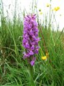 Northern Marsh-orchid (guest image)