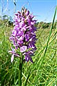 Southern Marsh-orchid (guest image)