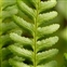 Leptosporangiate ferns, Dryopteris filix-mas