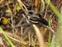 The animal kingdom, Dolomedes fimbriatus