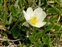 Flower, Dryas octopetala