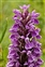 Plants thought to be native to the British Isles, Dactylorhiza praetermissa