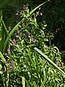 Great Willowherb
