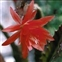 Red flowers, Epiphyllum