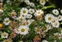 Wild-growing plants and fungi of the British Isles, Erigeron karvinskianus