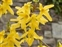 Plants thought to be introduced in the British Isles after 1500 AD., Forsythia x intermedia