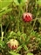 Wild plants of Europe, Fragaria viridis