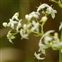 Flower, Galium album