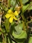 Wild-growing plants and fungi of the British Isles, Hypericum elodes
