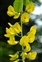 Flowering plants excl. Grasses, sedges and rushes., Laburnum anagyroides