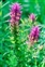 Flowering plants excl. Grasses, sedges and rushes., Melampyrum arvense
