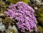 Wild-growing plants and fungi of the British Isles, Saxifraga oppositifolia