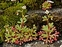 Flowering plants excl. Grasses, sedges and rushes., Saxifraga tridactylites