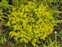 Flowering plants excl. Grasses, sedges and rushes., Sedum acre