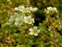 Plants thought to be introduced in the British Isles after 1500 AD., Saxifraga paniculata