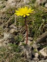 Taraxacum Section Erythrosperma