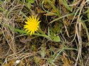 Taraxacum Section Hamata