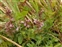 The Dead-nettle family, Lamiaceae, Teucrium chamaedrys