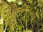Neckeraceae, the Feather-moss family, Thamnobryum alopecurum