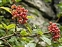 Plants that are alien to the British Isles, Viburnum lantana