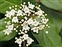 Flowering plants excl. Grasses, sedges and rushes., Viburnum tinus