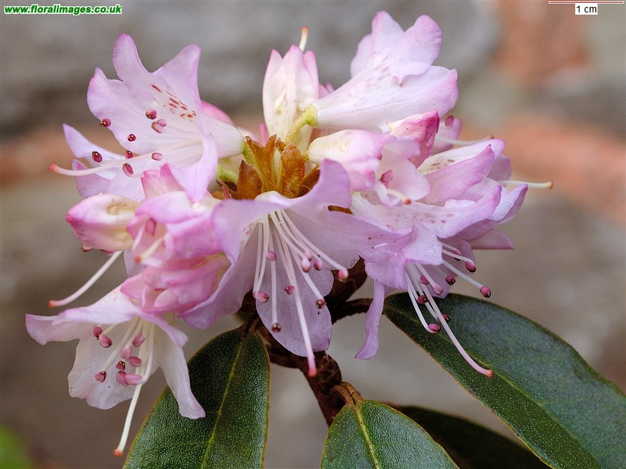Rhododendron racemosum